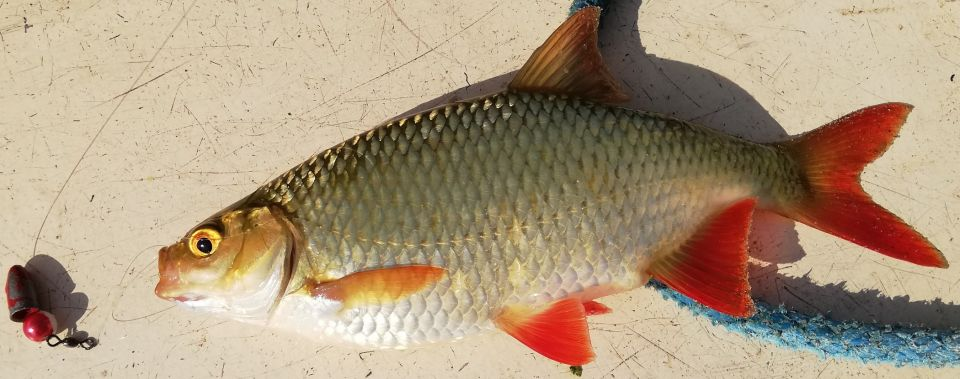 """06.08.2019.Dziećkowice.W towarzystwie JANA test kolorowych BULLETÓW  do CAROLINA-RIG.Okonie współpracowały ( kilka szt. 30+),a dodatkowo """"złota rybka""""i płotka 31 cm."""